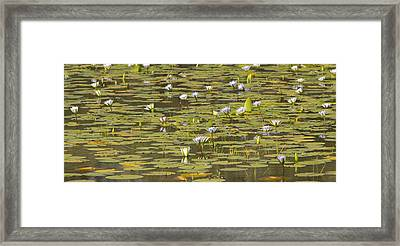 Cape Blue Water-lilies Zimbabwe Framed Print by Michael Durham