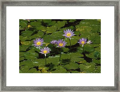 Cape Blue Water-lily Group Blooming Framed Print by Konrad Wothe