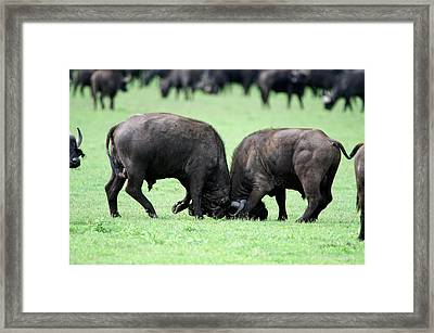 Cape Buffalo Bulls Syncerus Caffer Framed Print by Panoramic Images