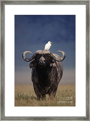 Cape Buffalo With Cattle Egret In Tanzania Framed Print