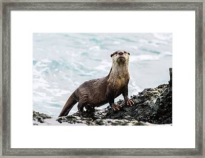 Cape Clawless Otter Framed Print by Peter Chadwick