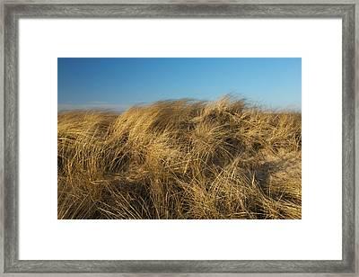 Cape Cod Dune Grass Framed Print by Allan Morrison