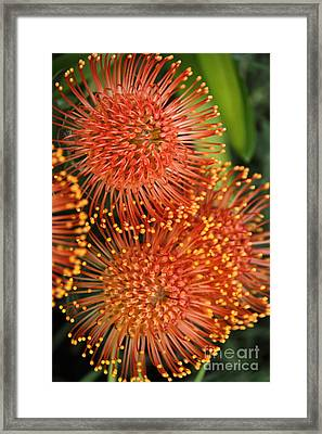 Cape Flora Framed Print by David Van der Merwe