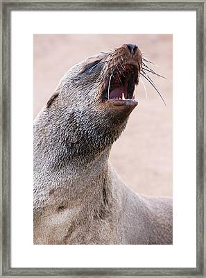 Cape Fur Seal Framed Print by Simon Booth