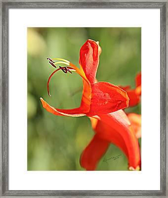Cape Honeysuckle Framed Print by Kume Bryant