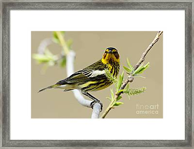Cape May Warbler Framed Print by Larry Ricker