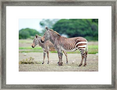 Cape Mountain Zebra And Foal Framed Print by Peter Chadwick