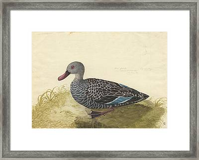 Cape Teal Framed Print by Natural History Museum, London