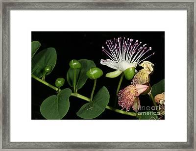 Caper Flower Framed Print