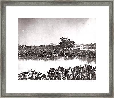 Capitol Cows Framed Print by Charles Somerville