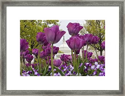 Capitol With Tulips Framed Print