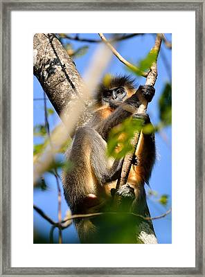 Capped Langur Framed Print by Fotosas Photography