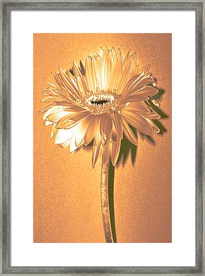 Captain And Coke Zinnia Framed Print by Sherry Allen