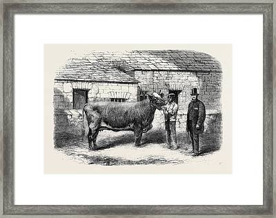 Captain Gunters Duchess 77th First Prize Cow At The Royal Framed Print