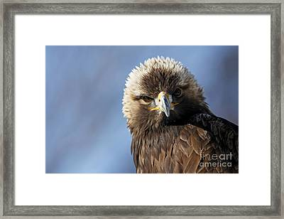 Captivating Golden Eagle Watching You Framed Print by Inspired Nature Photography Fine Art Photography
