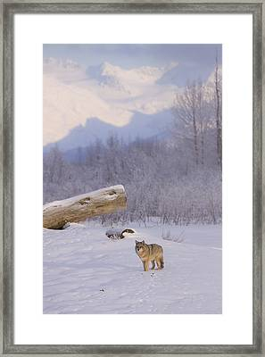 Captive A Coyote Walks Across A Frozen Framed Print by Doug Lindstrand