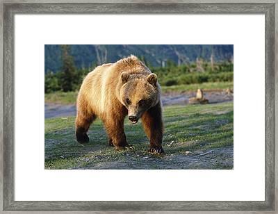 Captive Brown Bear Walking Framed Print by Doug Lindstrand