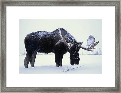 Captive Bull Moose Foraging For Food Framed Print by Doug Lindstrand