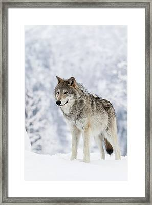 Captive  Female Tundra Wolf In Snow Framed Print