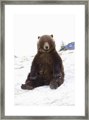 Captive Grizzly During Winter Sits Framed Print by Doug Lindstrand
