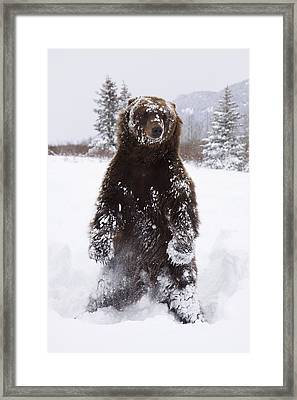 Captive Grizzly Stands On Hind Feet Framed Print by Doug Lindstrand