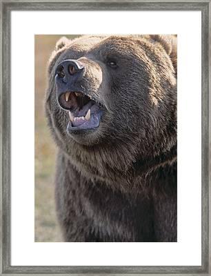 Captive Kodiak Grizzly Bear Framed Print by Darwin Wiggett