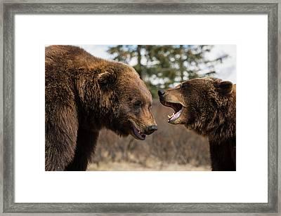 Captive  Male And Female Brown Bears Framed Print by Doug Lindstrand