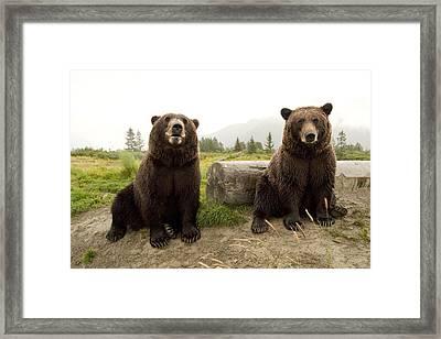 Captive Two Brown Bears Sitting Near Framed Print by Doug Lindstrand