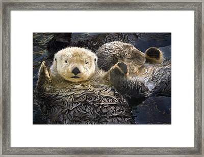 Captive Two Sea Otters Holding Paws At Framed Print