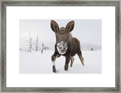 Captive Young Bull Moose In Deep Snow Framed Print