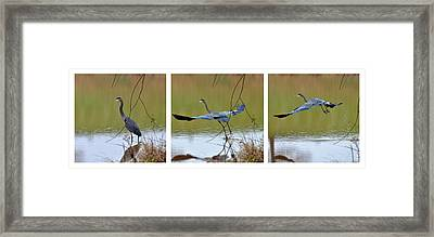 Capturing The Great Blue Heron   - 09939535-6-7 Framed Print by Paul Lyndon Phillips