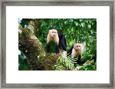 Capuchin Monkeys, Punta Banco, Costa Framed Print by James White