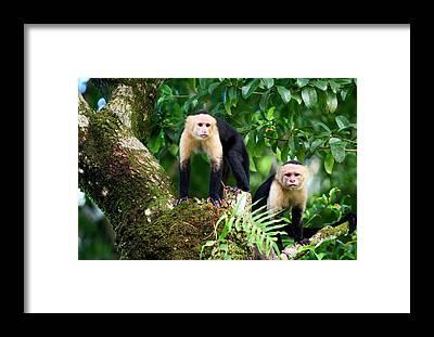 Leaf Monkey Framed Prints