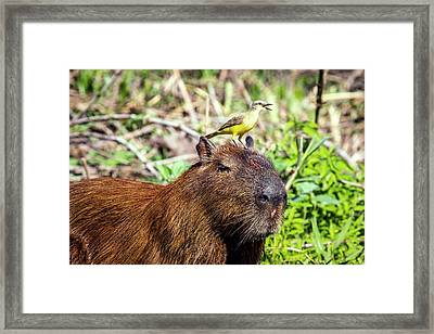 Capybara And Cattle Tyrant Framed Print by Paul Williams
