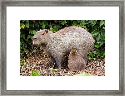 Capybara Suckling Framed Print by Paul Williams
