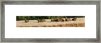Capybaras Resting On Sand, Rio Negro Framed Print by Panoramic Images