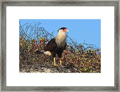 Caracara In The Dunes Framed Print by Debra Martz