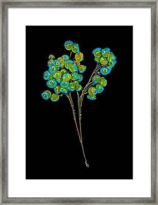 Carchesium Colony, Confocal Micrograph Framed Print by Science Photo Library