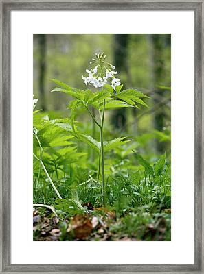 Cardamine Heptaphylla In Flower In A Wood Framed Print