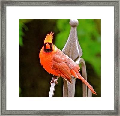 Cardinal 108 Framed Print by Patsy Pratt