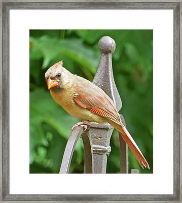 Cardinal 109 Framed Print by Patsy Pratt