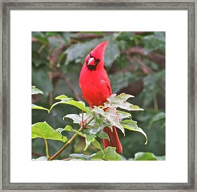 Cardinal 111 Framed Print by Patsy Pratt