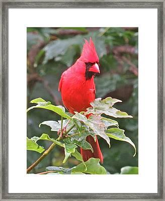 Cardinal 112 Framed Print by Patsy Pratt