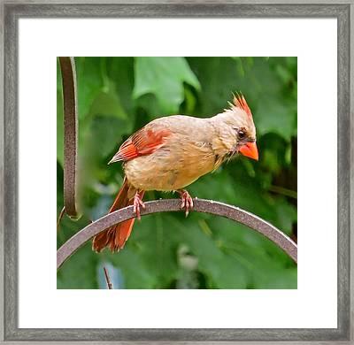 Cardinal 113 Framed Print by Patsy Pratt
