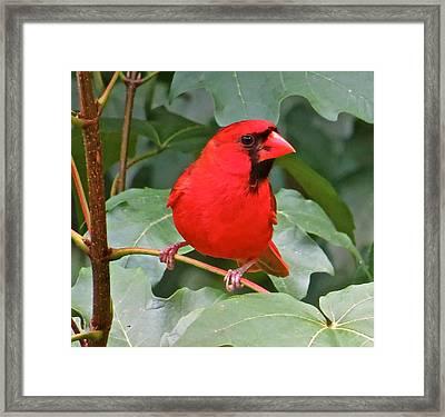 Cardinal 117 Framed Print by Patsy Pratt