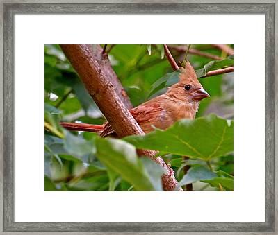 Cardinal 120 Framed Print by Patsy Pratt