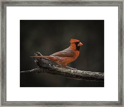 Cardinal 2011-1 Framed Print