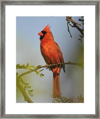 Cardinal 329 Framed Print