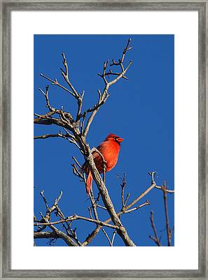 Cardinal And Blue Framed Print