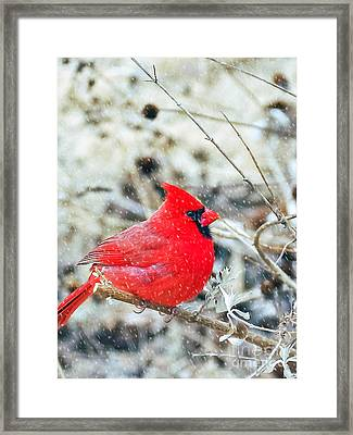 Cardinal Bird Christmas Card Framed Print